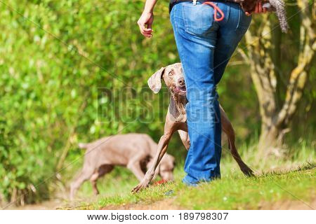 Person Plays With Weimaraner Dogs Outdoors
