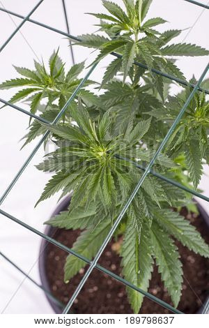 Small potted cannabis plant isolated over white background with grid - medical marijuana farming concept