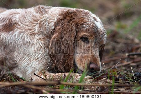hunting dog spaniel resting after hunt on the field