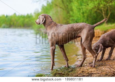 Weimaraner Adult Dog And A Puppy At A Lake