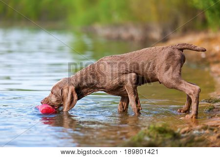 Weimaraner Puppy Retrieving A Treat Bag