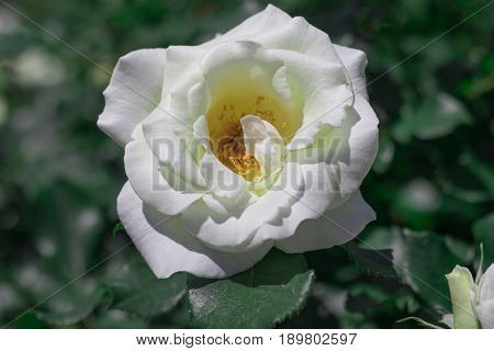 Beautiful  White Rose  Blooming In The Garden At Sunny Summer Or Spring Day