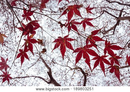 Red maple branch. Autumn maple leaves background