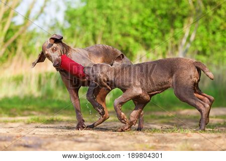 Weimaraner Adult And Puppy Fighting For Treat Bag