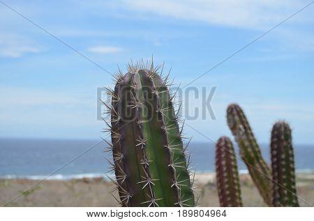 Lovely desert cactus with sharp barbs along it.