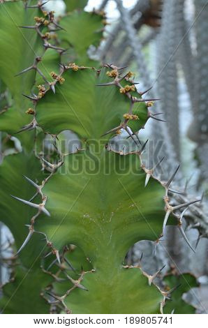 Desert cactus with sharp spines along it.