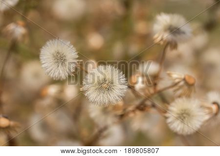 Close up dandelion fluff in the meadow.shallow focus