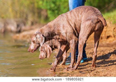 Weimaraner Dogs Playing Lakeside