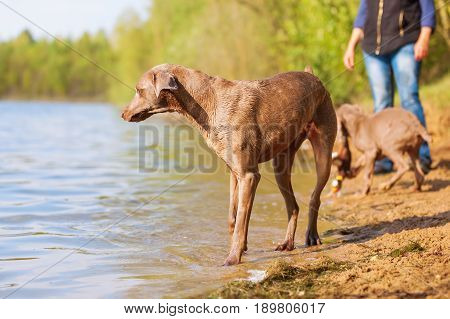 Person With Weimaraner Dogs At A Lake