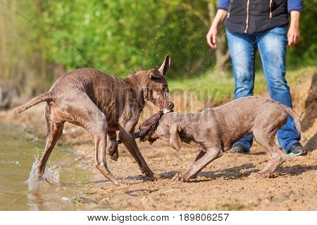Weimaraner Dogs Fighting For A Toy