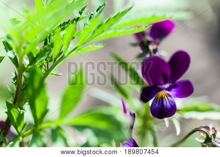 Viola odorata. Sweet Violet, English Violet, Common Violet, or Garden Violet blooming in spring close-up. Nature background.