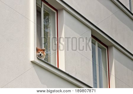 A dog watching out from a window in Tallinn Estonia. It seems to be observing the bypassers with a friendly smile.