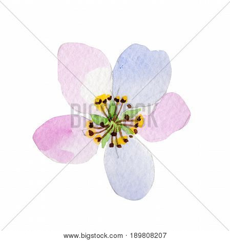 Wildflower Malus flower in a watercolor style isolated. Full name of the plant: Malus. Aquarelle wild flower for background, texture, wrapper pattern, frame or border.