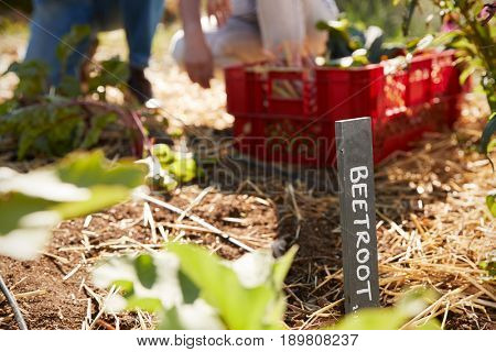 Sign Marking Beetroot Crop On Community Allotment