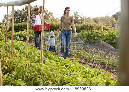Family Harvesting Produce From Allotment Together