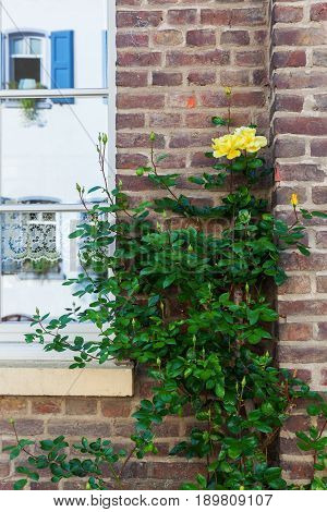 Rambling Rose At A House Wall