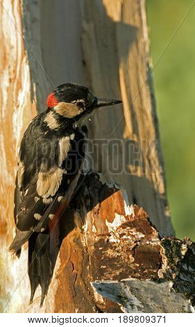 Male of Greater Spotted Woodpecker looking for insects in a rotten birch bush on a beautiful sunny May morning. Poland. Vertical view.