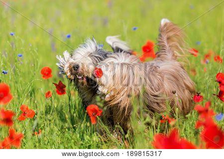 Two Bearded Collies In A Poppy Meadow