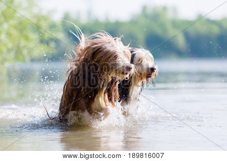 Two Bearded Collie Run In A Lake