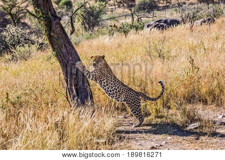 Savannah in Namibia. The concept of exotic and extreme tourism. The magnificent large spotty African leopard sharpens claws about a tree