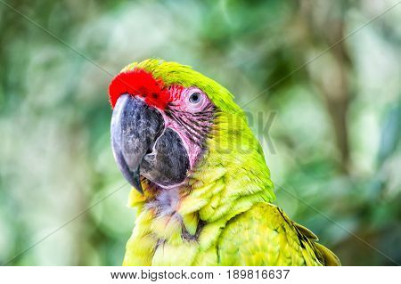 ara parrot beautiful cute funny bird of green and red feathered outdoor on green natural background