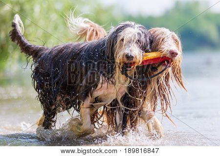 Bearded Collies With Treat Bag In The Snout