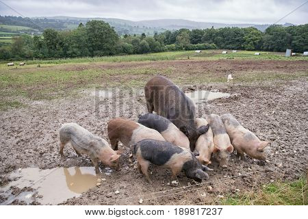 Mother Pig And Her Piglets In A Muddy Field