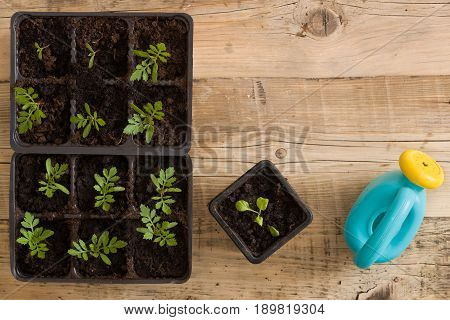 Top view on plastic containers with young baby plants growing on fertile soil and toy watering can. Agriculture. Small Growing Cantaloupe Sprouts on white background. Garden grow vegetables. Eco.