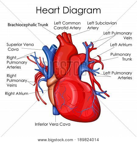 Medical Education Chart of Biology for Heart Diagram. Vector illustration