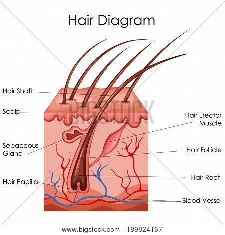 Medical Education Chart of Biology for Hair Diagram. Vector illustration