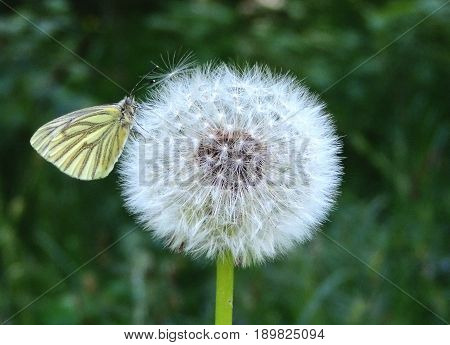 Butterfly on a dandelion. Fluffy ball is white. Morning in June in the forest. Seeds flown parachutes flying