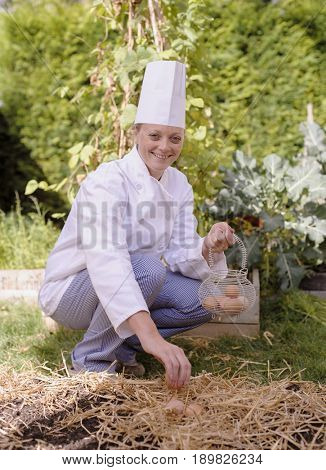 Caucasian chef harvesting chicken eggs