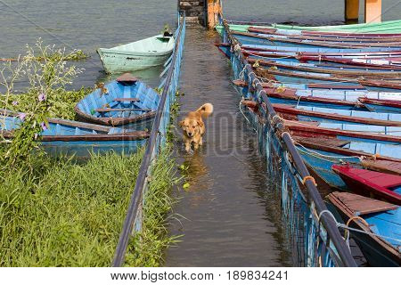 Stray dog running in the water on the flooded sidewalk in Pokhara Nepal . Close up