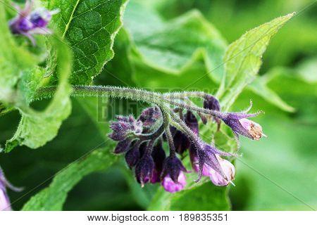 Comfrey. Comfrey or Symphytum officinale flower used in organic medicine.