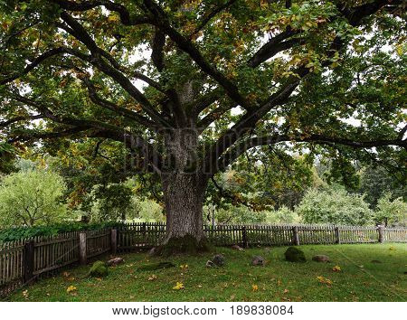 Old thick oak tree in park of the Mikhailovskoye village Pushkinskiye Gory Reserve Russia