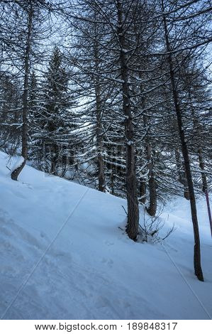 forest at simplon pass during winter in switzerland