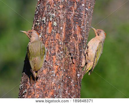 Two Female European Green Woodpecker.