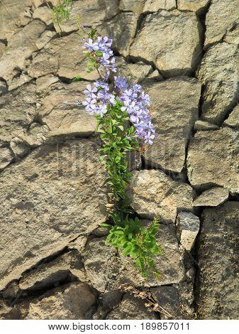 Pale Blue Flower In Stone Wall