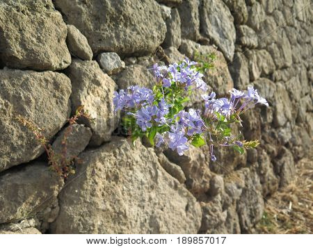 Pale Blue Flower In Stone Wall