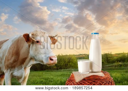 milk in bottle and glass on wicker basket with cow on the meadow in the background. Glass of milk. Closeup of cow muzzle look at the camera. Photo with copy space