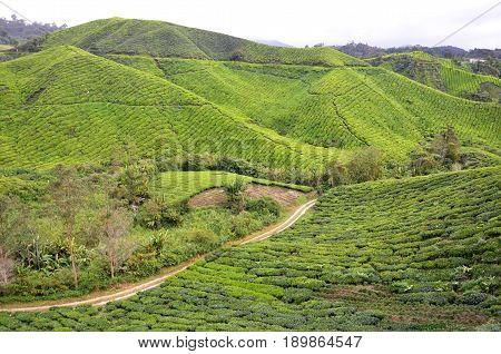 Tea Plantation Located In Cameron Highlands