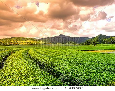 Tea plantation valley at dramatic pink sunset sky .
