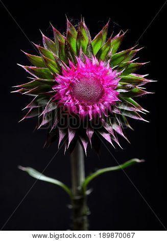 Thistle flower on black background in studio