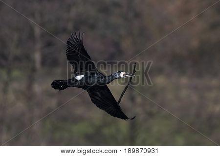 Great cormorant in flight with a branch in its beak