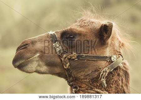 head camel with harness. Animal