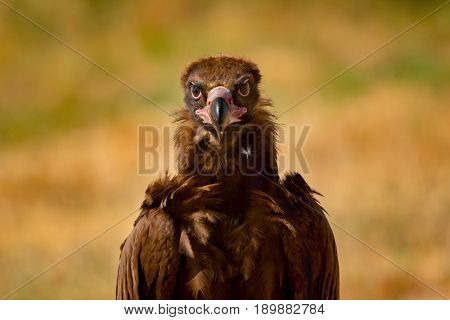 Portrait of a wild black vulture in the nature