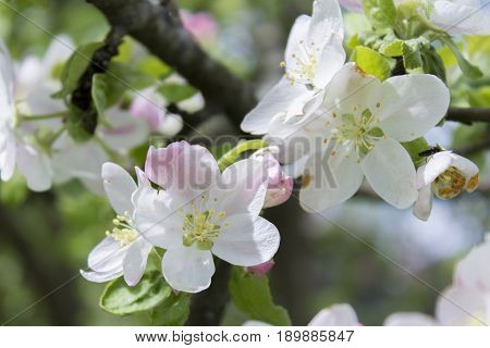Apple trees in bloom pink and white flowers. The Apple trees are blooming. Apple tree in spring. Apple blossoms