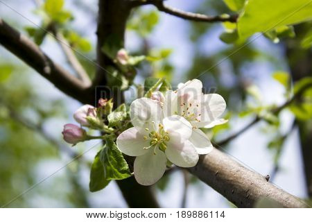 The Apple trees are blooming white flowers. White Apple tree blossoms. The Apple tree twig with white flowers Spring flower background. Apple tree in bloom. Apple blossoms