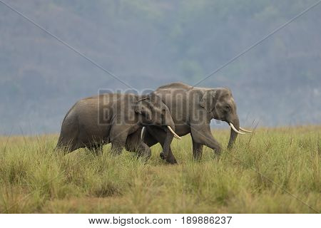 Two Sub adult Elephants Playing in Jim Corbett