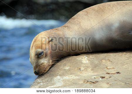 Close-up of a California Sea Lion (Zalophus Californianus) Resting on a Rock. La Holla California United States